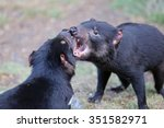 Fighting Tasmanian Devils