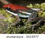 Small photo of Ruby Poison Frog Ameerega parvula