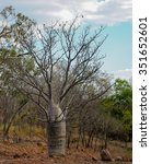 Small photo of bottle tree (Adansonia gregorii) in Nitmiluk National Park Northern Territory, Australia