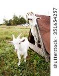 White Goats On A Farm