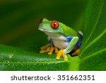 Red Eyed Amazon Tree Frog On...