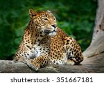 Stock photo sri lankan leopard panthera pardus kotiya big spotted cat lying on the tree in the nature habitat 351667181