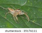 a female jumping spider | Shutterstock . vector #35176111