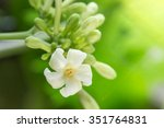 Papaya Flower And Buds In...