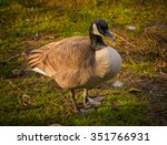 Portrait Of Canadian Duck On...