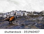 A Harlequin Duck Standing On...