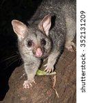 Australian Bush Tailed Possum...