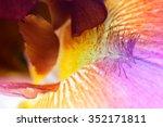 Beautiful Iris Flower Close Up...
