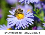 European Honey Bee  Apis...
