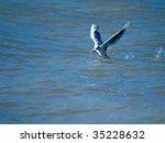 Seagull With Fish In Beak.