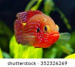 Small photo of The African jewelfish (Hemichromis bimaculatus) In Aquarium