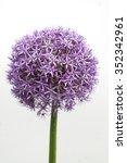 Allium  Giganteum  Giant Allium