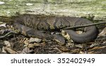Small photo of The Cottonmouth snake (Agkistrodon piscivorus) curls up at the Francis Beidler Forest in South Carolina. It is the world's only semiaquatic viper found in or near water, streams, marshes, and swamps.