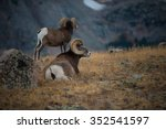 couple bighorn rams grazing in...