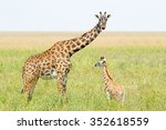A Young Giraffe And His Mother...