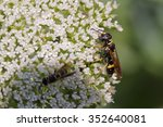 Small photo of Beewolf, Philanthus sp.
