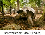 An Aldabra Giant Tortoise Look...