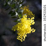 Small photo of Superb bright yellow fragrant fluffy balls of Cootamundra wattle Acacia baileyana species flowering in early winter adds color and fragrance to the Australian bush landscape.