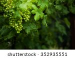 green grapes on the vine | Shutterstock . vector #352935551