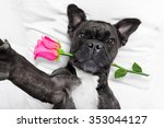 Stock photo french bulldog dog with valentines rose in mouth taking a selfie in bed resting 353044127