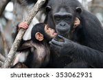 a female chimpanzee with a baby ... | Shutterstock . vector #353062931