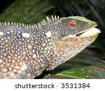 Small photo of rainforest dragon Enyalioides sp.