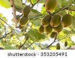 Kiwifruit  Zespri  Kiwi  Orchard