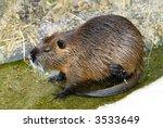 nutria rat in the water eating   Shutterstock . vector #3533649