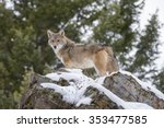 a coyote searches for a meal in ... | Shutterstock . vector #353477585