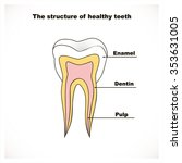 the structure of a healthy tooth