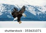 Flying Bald Eagle   Haliaeetus...