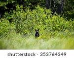 Curious Black Bear Cub Standin...