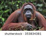 Orangutan Portrait. Portrait O...
