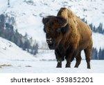 A Huge Bull Bison Stands...