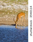 Small photo of Black-faced impala at waterhole; Aepyceros melampus petersi