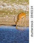 Small photo of Black-faced impala at waterhole; Aepyceros melampus petersi