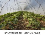 eggplant in greenhouse  | Shutterstock . vector #354067685