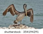 Brown Pelican Paracas National...