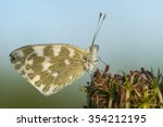 Common Butterfly Covered With...