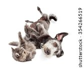 Stock photo cute terrier mixed breed dog and grey color longhair cat rolling around on the ground and playing 354266519