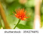 A Beautiful Plant  Calliandra...
