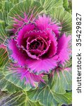 Violet Decorative Cabbage In A...