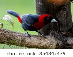 crimson collared tanager... | Shutterstock . vector #354345479