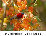 Small photo of Bird,Crimson Sunbird ,Yellow-backed Sunbird (Aethopyga siparaj)