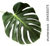 Leaf Of Monstera Plant With...
