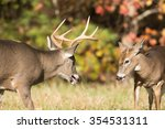 Two White Tailed Deer   One...