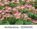 Flowers Of Acacia  Albizzia...