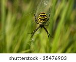 Spider Yellow And Black Stripe
