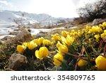 Yellow Crocus In Nature