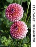 pink suffusion  decorative ... | Shutterstock . vector #354914615